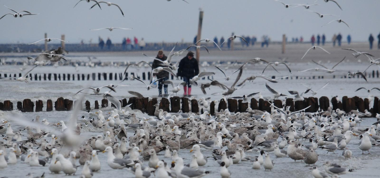 Spaziergang inmitten von Möven Norderney